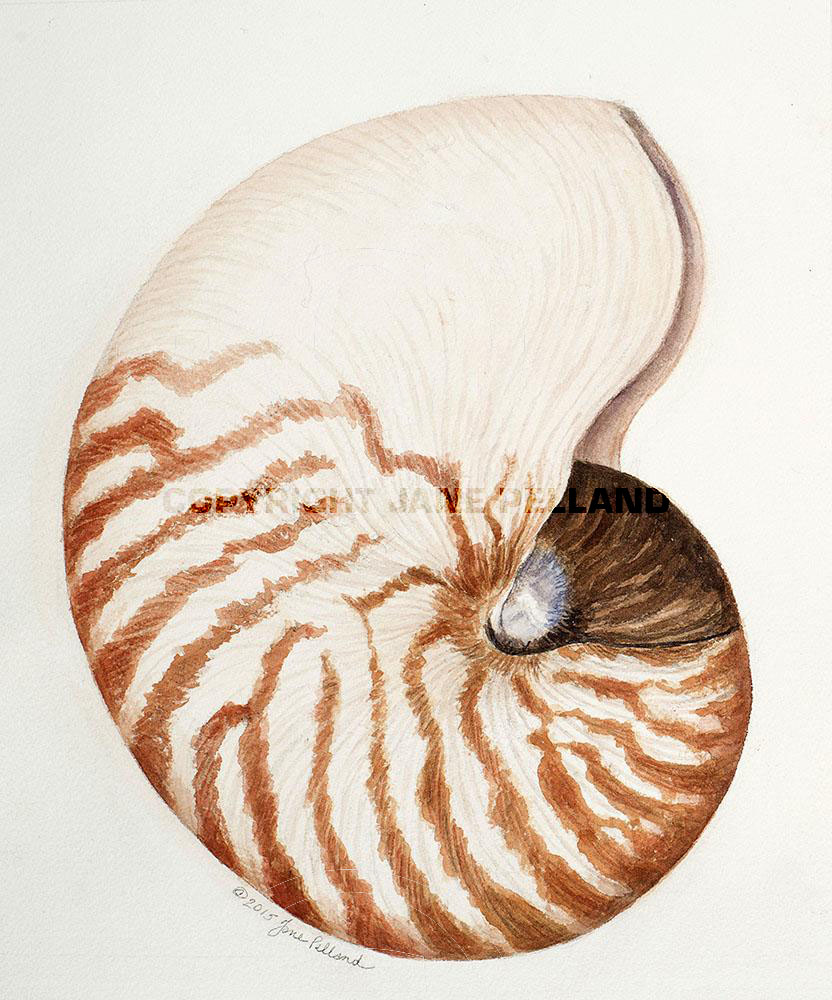 Chambered Nautilus (full shell)