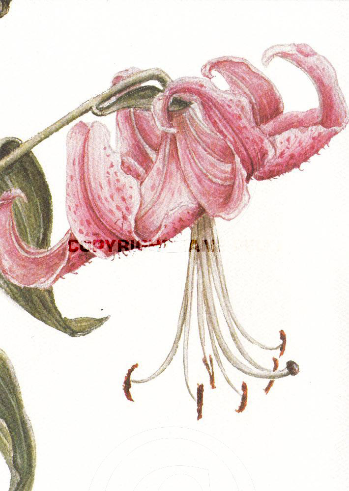 Rubrum Lily 1